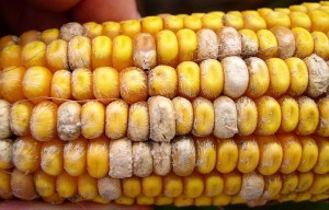 fusarium_ear_rot_symptoms1