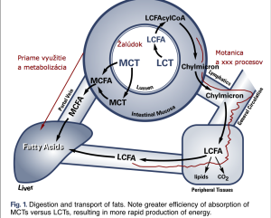 Metabolizmus MCT 1