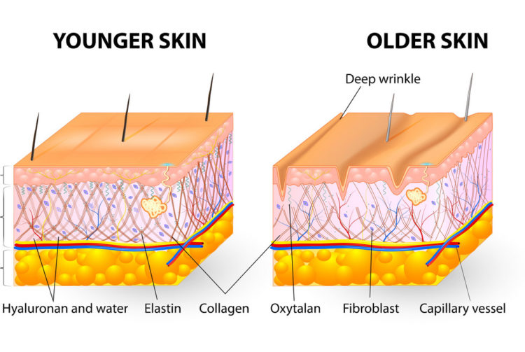 Zdroj:Vectorstock a popis významu kolagénu v rámci starnutia pokožky